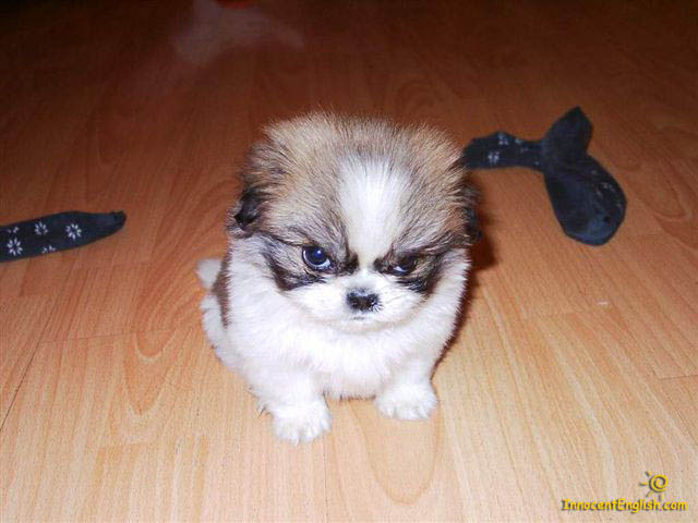 Cute little angry puppy