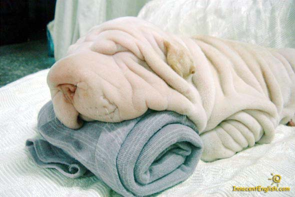 funny pic of wrinkle dog that looks like a towel