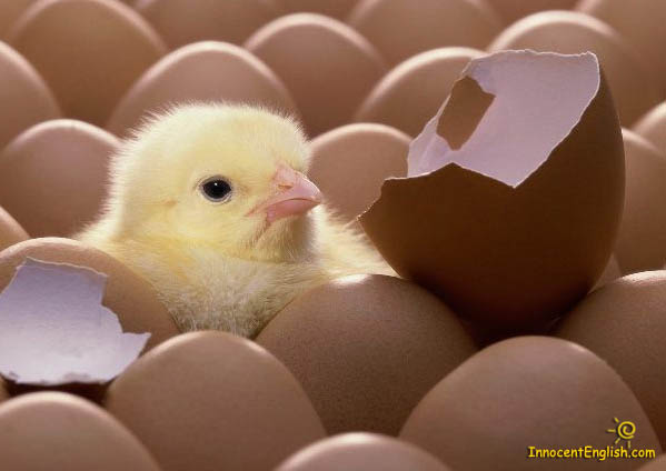 cute baby yellow chick
