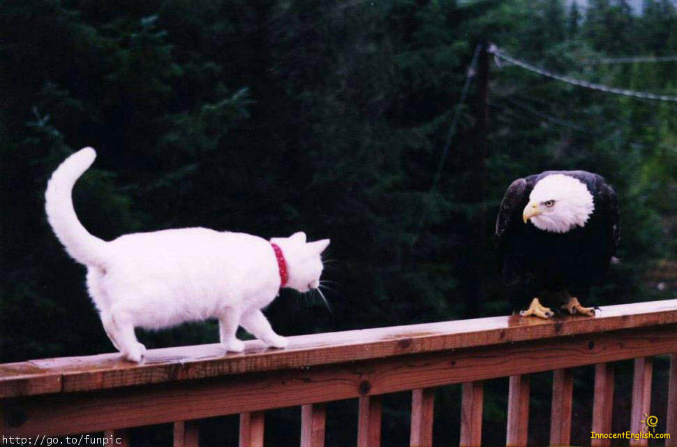 cat stocking eagle