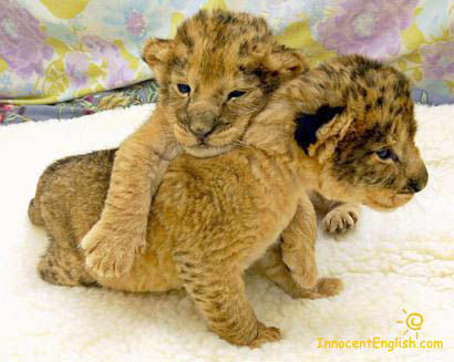 cute little baby lions or tigers or leopards play fighting