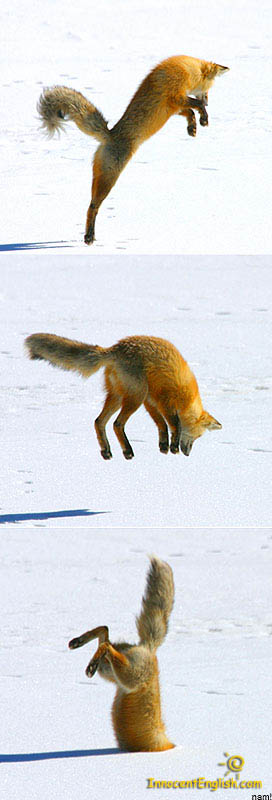 jumping fox diving into snow