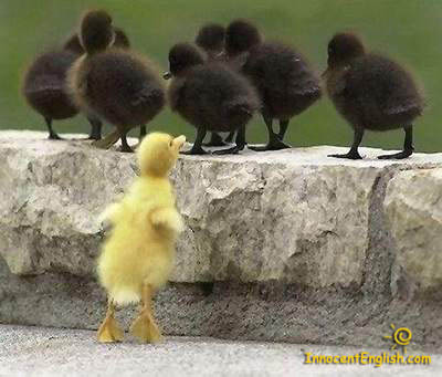 cute yello duckling and black ducklings