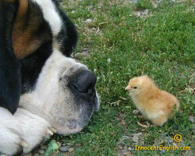 dog with baby chick bird