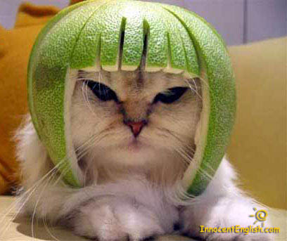 funny cat with watermelon helmet