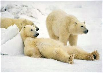 funny pic of polar bear relaxing