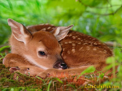 fawn- Cute baby deer picture