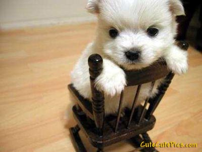 Very cute little white puppy in rocking chair