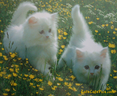 white kittens: beautiful picture of two white kittens playing in the grass