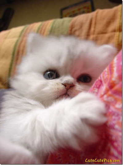 Beautiful white fluffy-kitten Pic