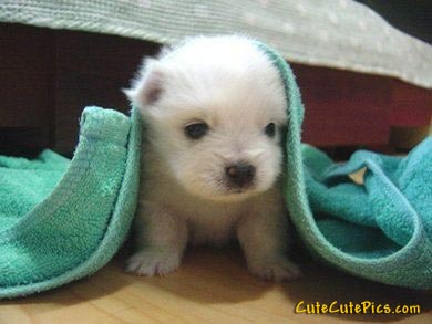 Pic of very cute white puppy under a towel