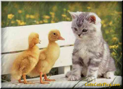 Cute Kitten and baby ducklings