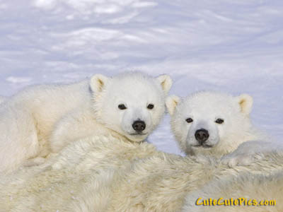 Really cute polar bear cubs pic