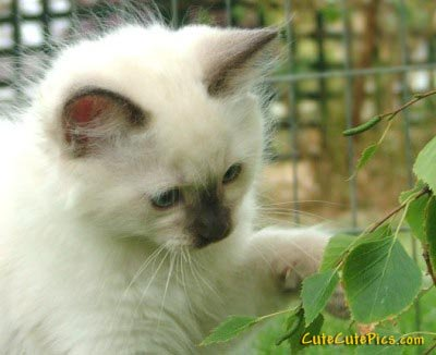 beautiful-white-kitten-photo