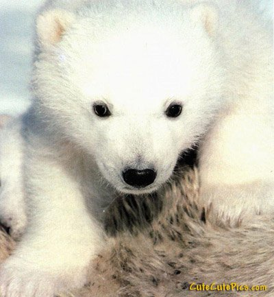 Cute baby polar bear cub picture