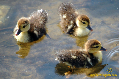 adorable-baby-ducks