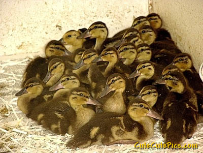 baby-duckling-photos