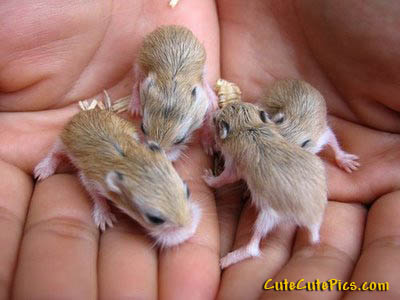 baby-hamsters