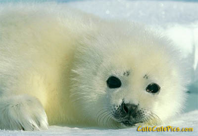 baby-harp-seal-pic
