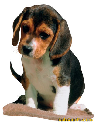 beagle-puppy-picture