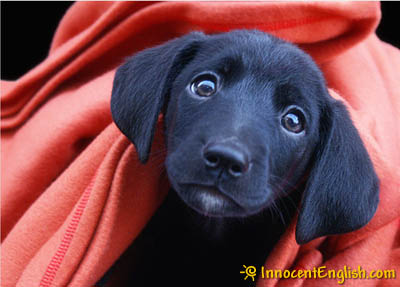 sweet black puppy