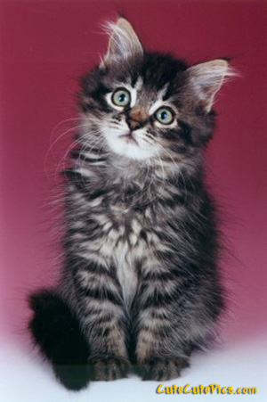 beautiful-kitten-image