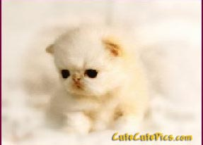 beautiful-white-kitten