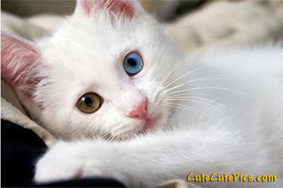 beautiful-white-kitty