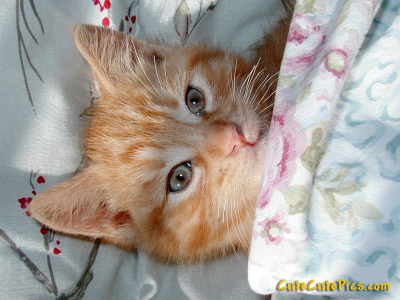 Cute kitten in bed under blanket