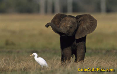cute-baby-elephant-chasing-duck