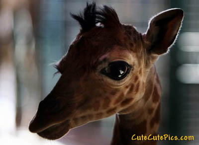 cute-baby-giraffe-picture