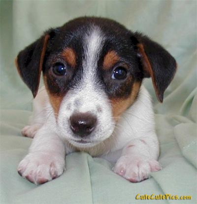 Picture of Cute beagle puppy