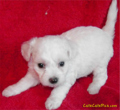 Very Cute Bichon Frise Puppy picture