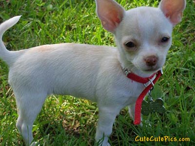 chihuahua puppies pictures. Cute Chihuahua Puppies - $300