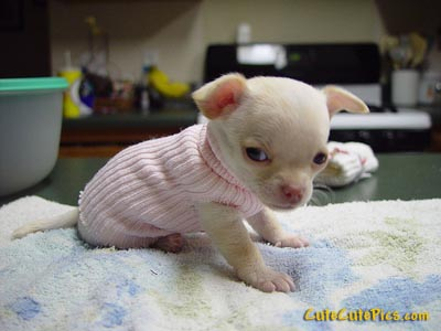 Cute chihuahua in pink sweater