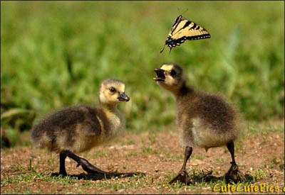 cute-ducklings-chasing-butterfly