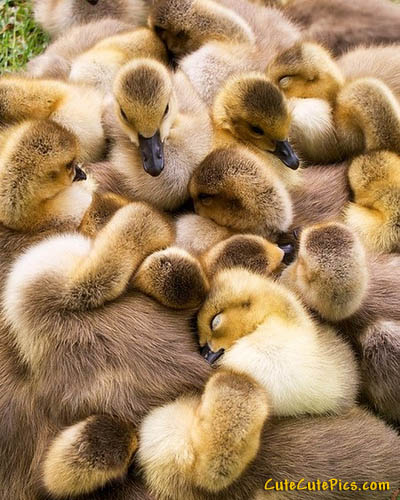 puppies and kittens sleeping together. cute-ducklings-sleeping
