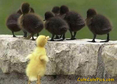 cute-ducklings