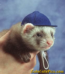 cute-ferret-wearing-cap