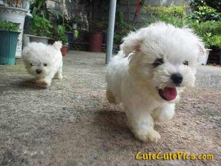 cute-furry-puppies-running