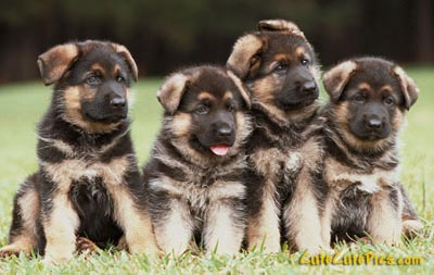 cute-germanshepherd-puppy