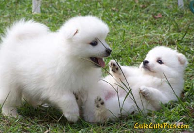 cute-japaneze-splitz-puppy-picture