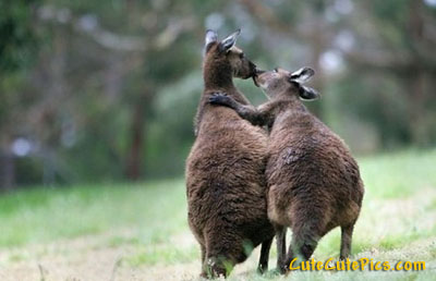 cute-kangaroos-kissing