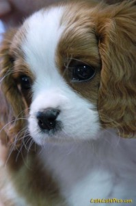 very sweet cute king charles spaniel puppy