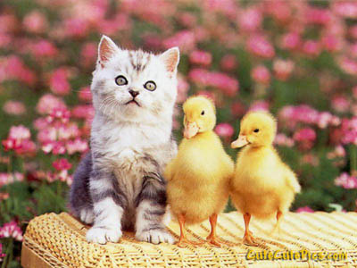 Cute darling kitten and ducklings