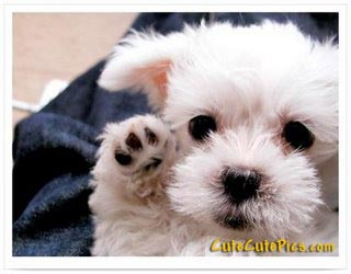 cute-little-white-puppy