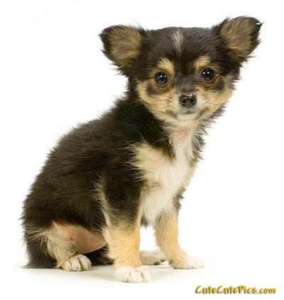 Very cute long haired chihuahua