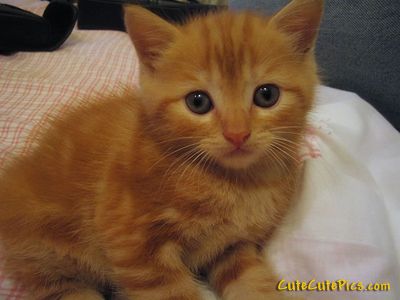 cute-orange-kitten