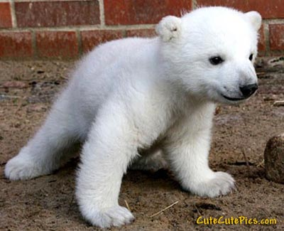 Cute little polar bear cub picture baby bear image