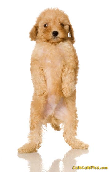 cute-poodle-puppy-pic
